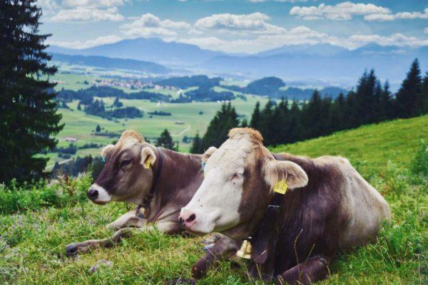 Kühe bei Pfronten