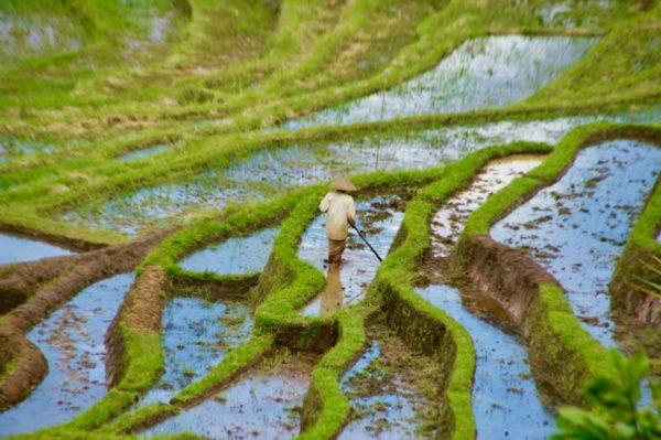 Bali: Reisbauer bei der Arbeit