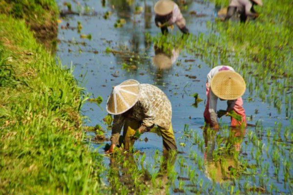 Bali: Ohne Fleiß kein Reis