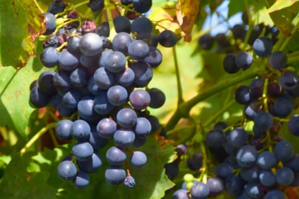 Wein am Bodensee bei Nonnenhorn