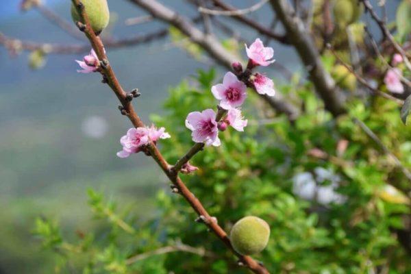 Aprikosenblüten an der Küste des Barlovento