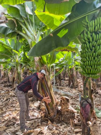 Bananenplantage in Tazacorte