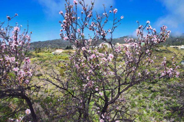Mandelblüte auf La Palma
