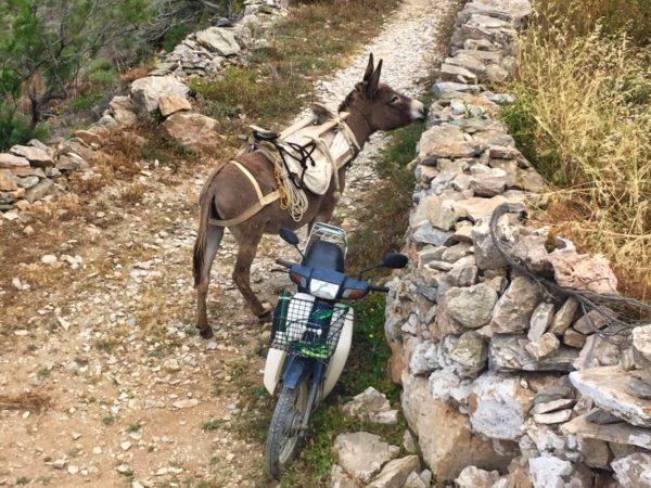 Folegandros: Einer der letzten Esel der Insel