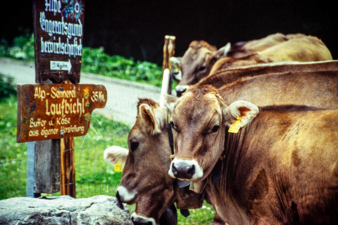 Kühe in Bad Hindelang