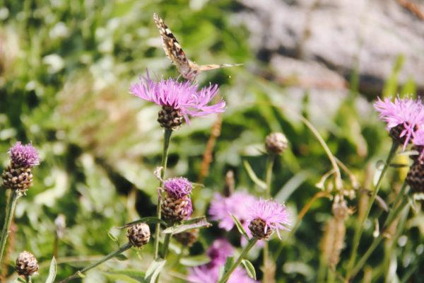 Blumen und Schmetterlinge auf Hindelanger Wiesen