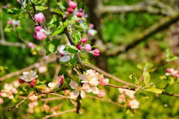 garmisch glentleiten kirschblueten
