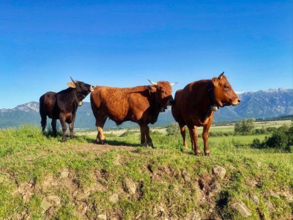 Kühe auf der Wanderung im Murnauer Moos