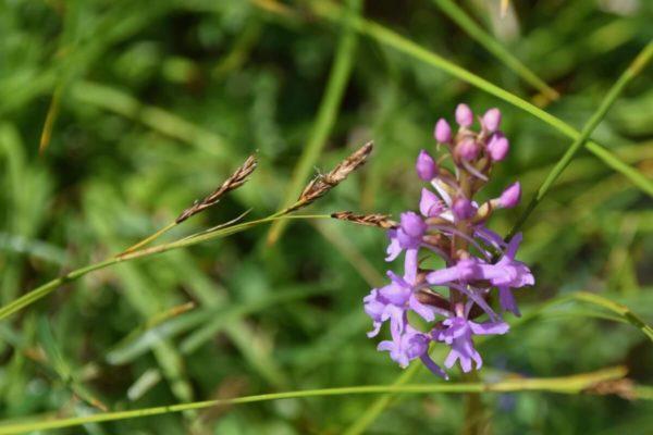 Orchideen auf der Wanderung auf den Wank