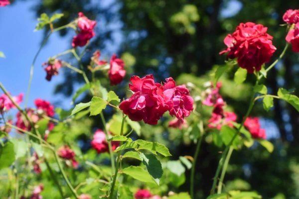 Rosarium auf der Roseninsel im Starnberger See