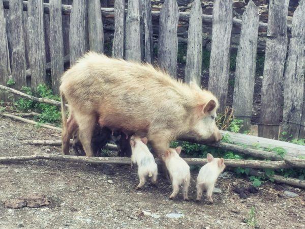 Georgien, Swanetien – Schweinefamilie in Zwirmi
