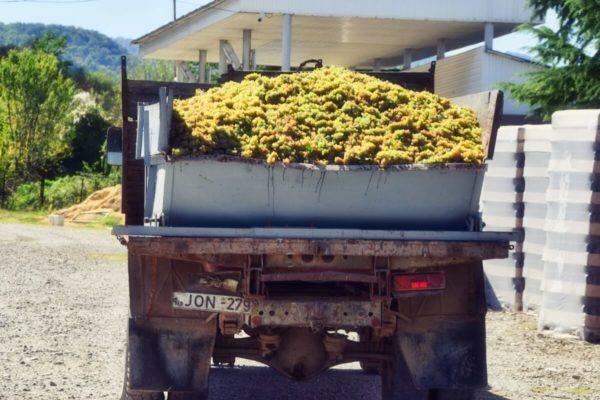 Georgien, Kachetien – Traubenernte