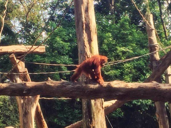Citytrip Singapur: Orang Utans im Zoo